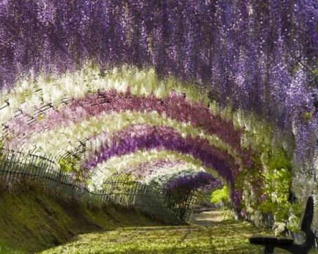 Wisteria Tüneli, Kawachi Fuji Bahçeleri, Kitakyushu, Japonya